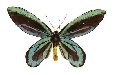 Ornithoptera_alexandrae-Pticekryl_korolevy_Alexsandry.jpg