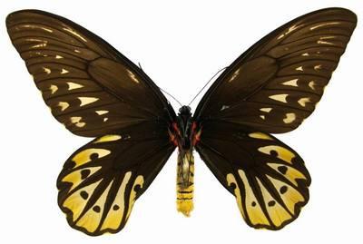 Ornithoptera_alexandrae-Pticekryl_korolevy_Alexsandry1.jpg