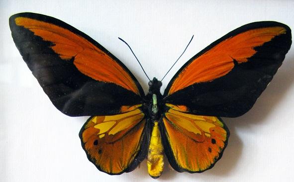 Ornithoptera_croesus.JPG