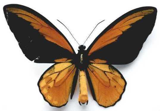Ornithoptera_croesus1.JPG