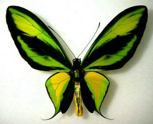 Ornithoptera_paradisea.JPG