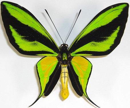 Ornithoptera_paradisea1.JPG