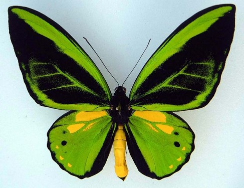 Ornithoptera_priamus.JPG