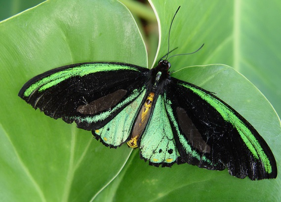 Ornithoptera_priamus1.JPG
