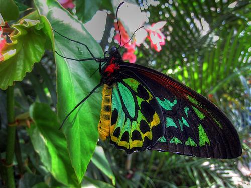 Ornithoptera_priamus2.JPG