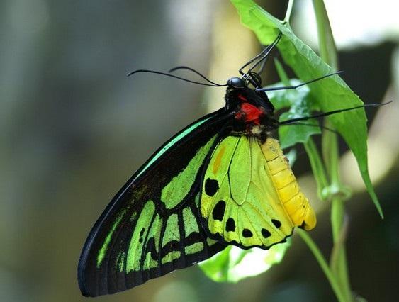 Ornithoptera_priamus3.JPG