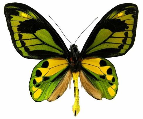 Ornithoptera_tithonus.JPG
