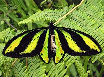Ornithoptera_tithonus1.JPG