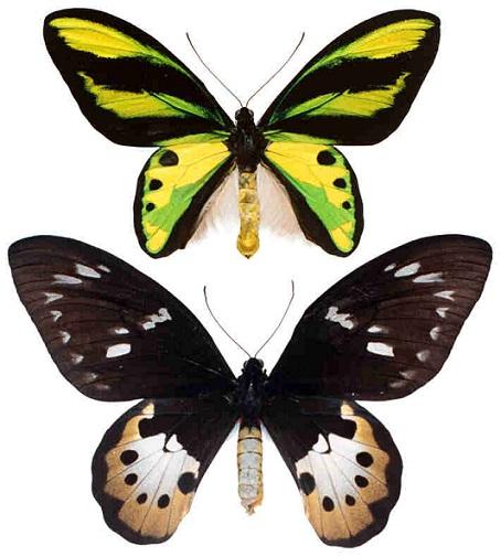 Ornithoptera_tithonus2.JPG