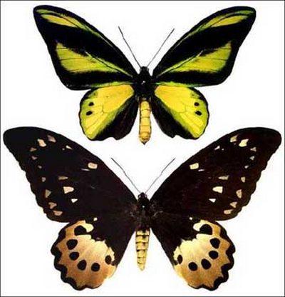 Ornithopterachimaera-Ornitoptera_himera.jpg