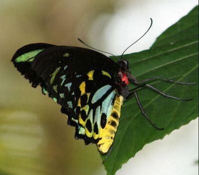 Ornithopterachimaera-Ornitoptera_himera1.jpg