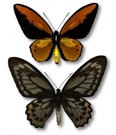 Ornithopteracroesus-Ornitoptera_krez.jpg