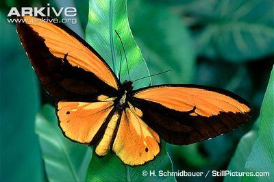 Ornithopteracroesus-Ornitoptera_krez1.jpg