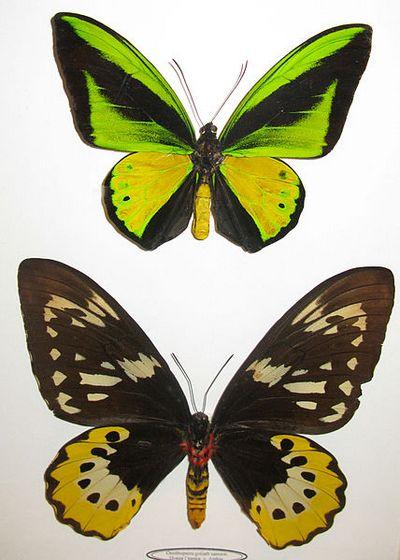 Ornithopteragoliath-Ornitoptera_goliaf.jpg