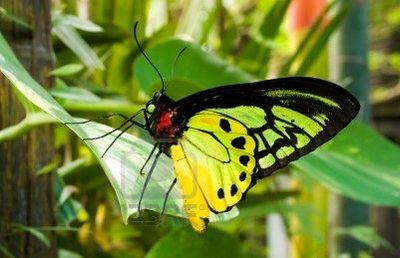 Ornithopteragoliath-Ornitoptera_goliaf1.jpg