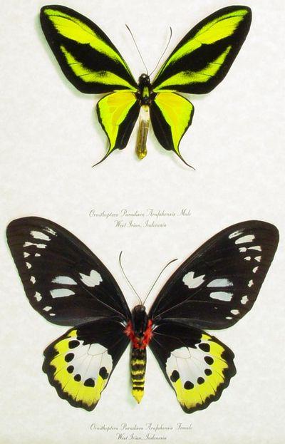 Ornithopteraparadisea-Ornitoptera_raiskaya.jpg