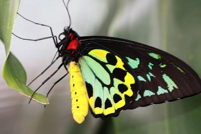 Ornithopteraparadisea-Ornitoptera_raiskaya1.jpg