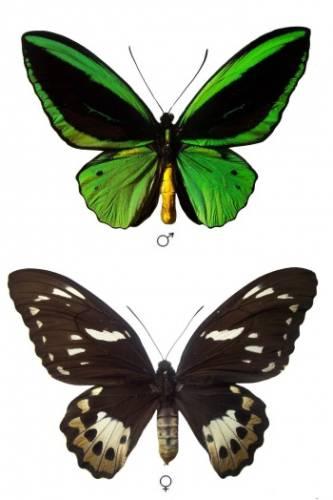 Ornithopterapriamus-Ornitoptera_priam.jpg