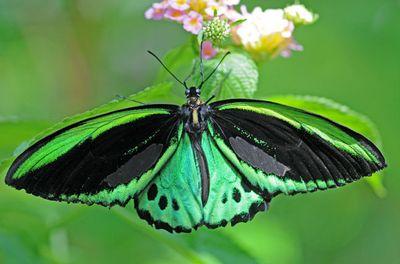 Ornithopterapriamus-Ornitoptera_priam1.jpg