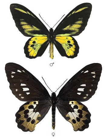 Ornithopterarothschildi-Ornitoptera_Rotshilda.jpg