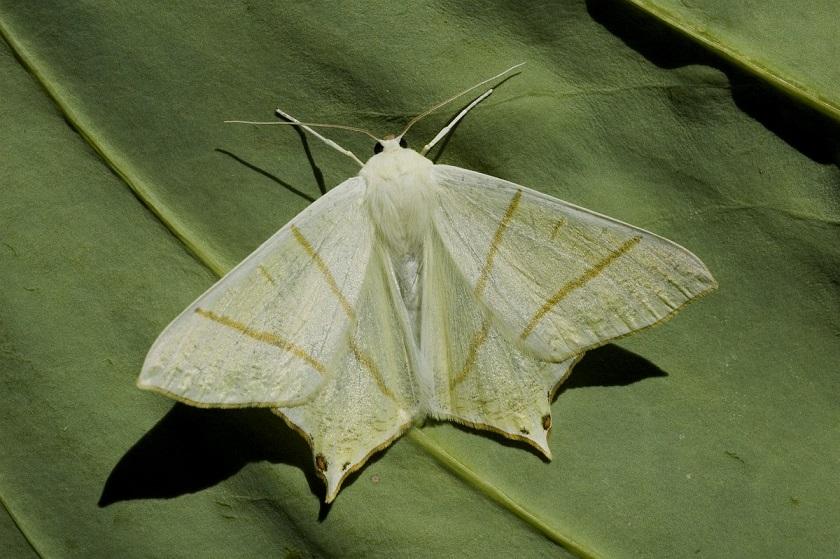 Ourapteryx-sambucaria-Pyadenica-hvostataya1.jpg