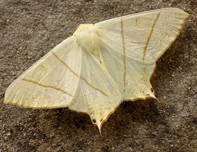 Ourapteryx-sambucaria-Pyadenica-hvostataya2.jpg