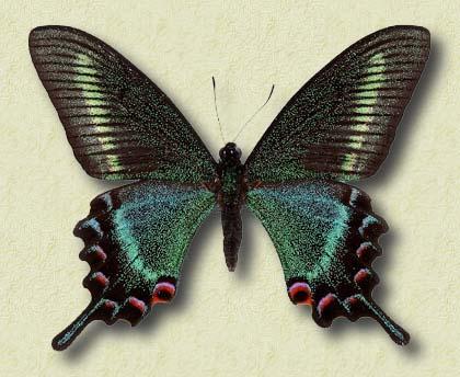 Papilio-maackii-tutanus-Fenton-1882