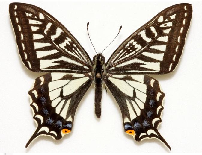 Papilio-xuthus-Linnaeus-1767-Parusnik-ksut