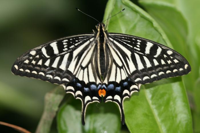 Papilio-xuthus-Linnaeus-1767-Parusnik-ksut1.jpg