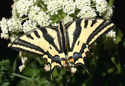 Papilioalexanor-Parusnik_Alexsanor.jpg