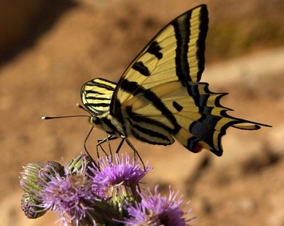 Papilioalexanor-Parusnik_Alexsanor1.jpg