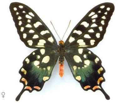Papilioantenor-Parusnik_Antenor.jpg