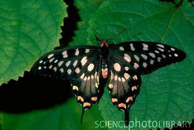 Papilioantenor-Parusnik_Antenor1.jpg