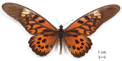 Papilioantimachus-Parusnik_Antimah.jpg
