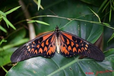 Papilioantimachus-Parusnik_Antimah1.jpg