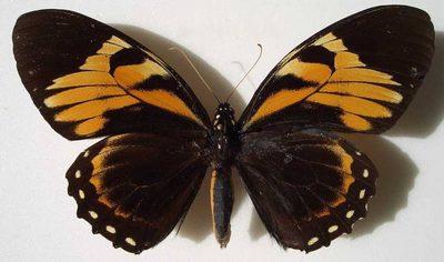 Papiliobachus-Parusnik_Bahus_ili_Parusnik_VAKH.jpg