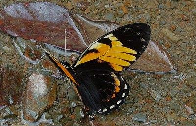 Papiliobachus-Parusnik_Bahus_ili_Parusnik_VAKH1.jpg