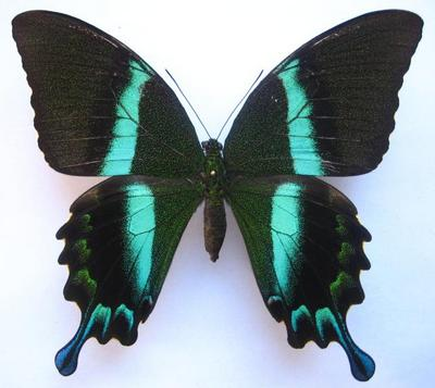 Papilioblumei-Parusnik_Blume.jpg