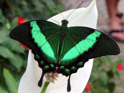 Papilioblumei-Parusnik_Blume1.jpg