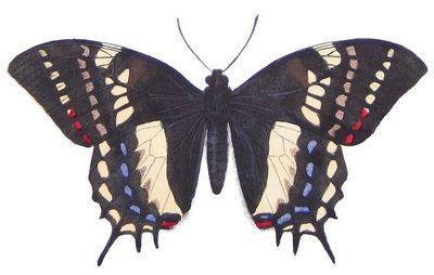 Papiliocacicus-Parusnik_kacik.jpg