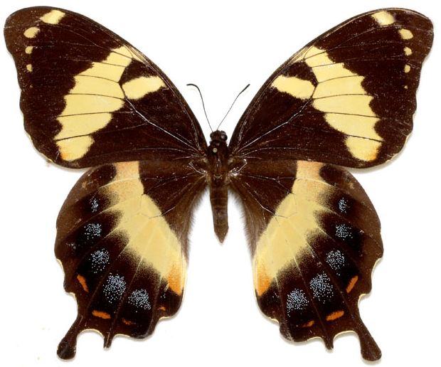 Papiliohomerus-Parusnik_Gomer.jpg
