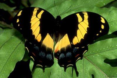 Papiliohomerus-Parusnik_Gomer1.jpg