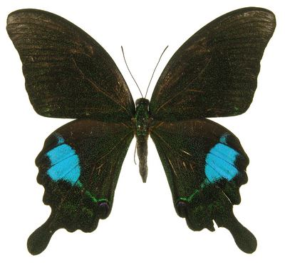 Papilioparis-Parusnik_Paris2.jpg