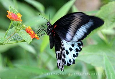 Papiliopolymnestor-Parusnik_Polimnester.jpg
