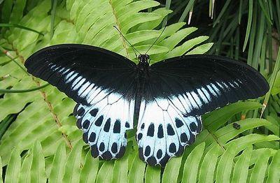 Papiliopolymnestor-Parusnik_Polimnester1.jpg