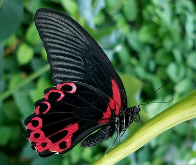 Papiliorumanzovia-Parusnik_Rumyanceva1.jpg