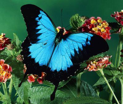 Papilioulysses-Parusnik_Uliss.jpg