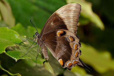 Papilioulysses-Parusnik_Uliss1.jpg