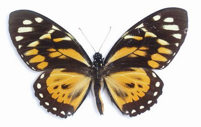 Papiliozagreus-Parusnik_zagrey.jpg