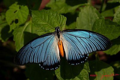 Papiliozalmoxis-Parusnik_Zalmoksis.jpg